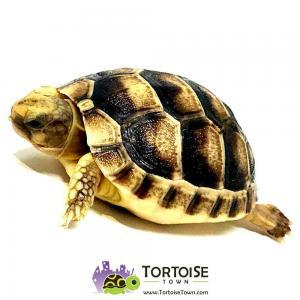 Marginated tortoises for sale