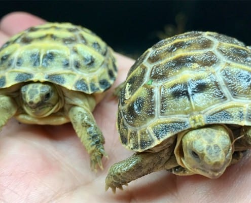 russian tortoise for sale.