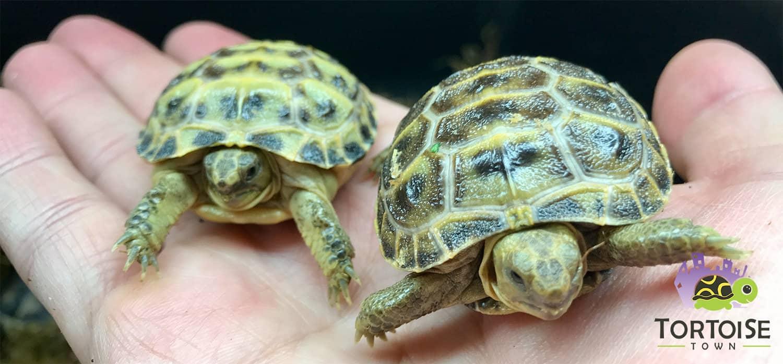 Egyptian Tortoises For Sale