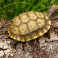 yellow foot tortoise for sale