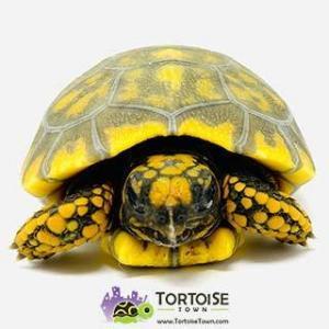 tortoise breeders