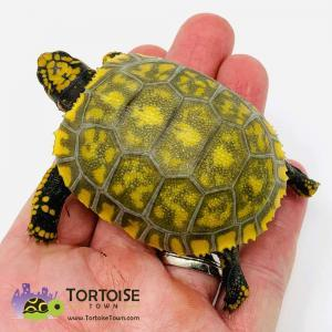 yellow footed tortoises