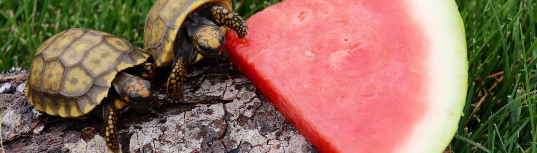 yellow foot tortoises