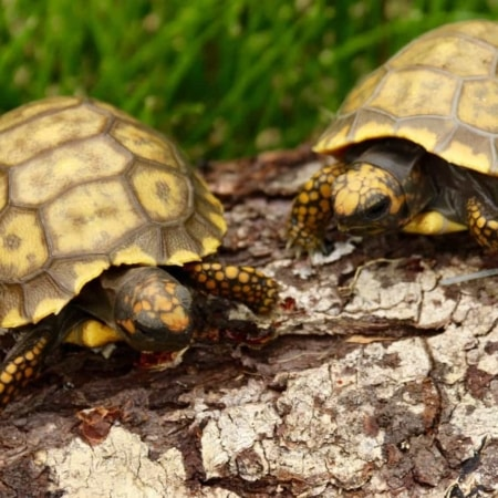baby yellow foot tortoises for sale
