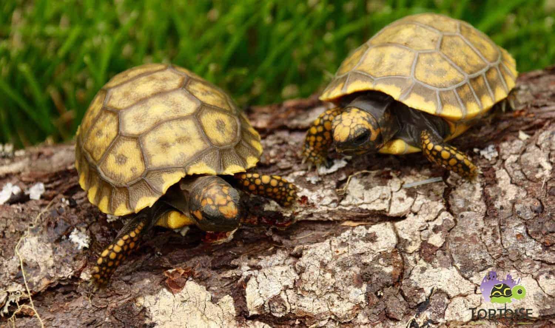 High yellow radiated tortoise