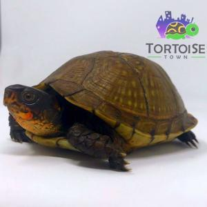 3 toed box turtle