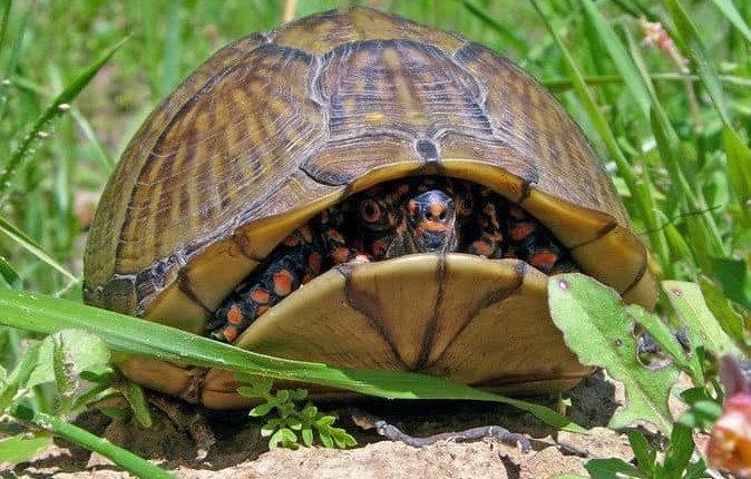 3 toe box turtle for sale