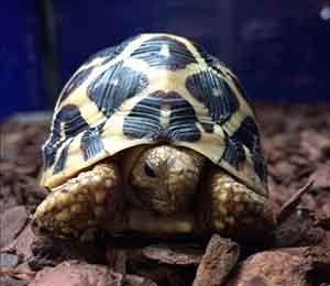 baby Indian star tortoise