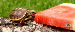baby red footed tortoise