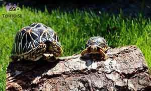 Indian star tortoises for sale