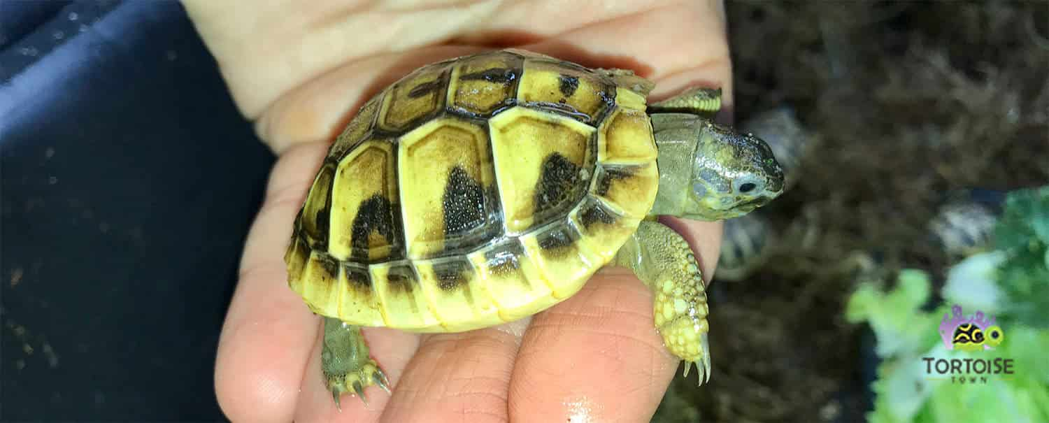 hermann's tortoise for sale
