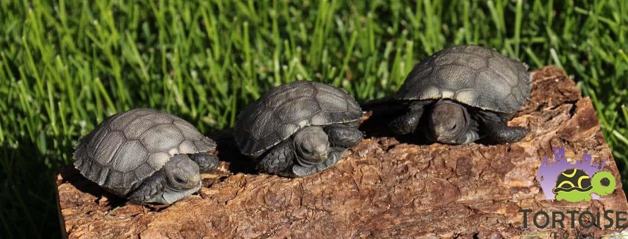 burmese black mountain tortoise