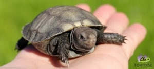 baby burmese mountain tortoise care