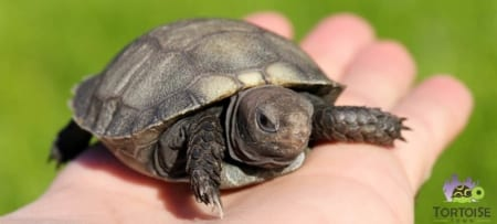 baby burmese mountain tortoise care