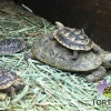 baby pancake tortoise care