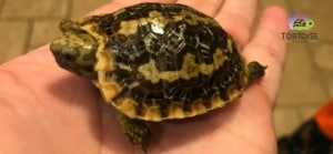pan cake tortoise for sale