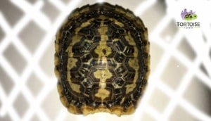 african pancake tortoises for sale