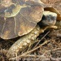 Homes Hingeback tortoises for sale