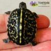 baby Florida box turtle