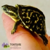 box turtle for sale