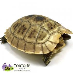 Elongated tortoise care
