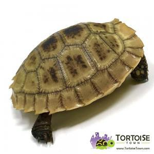 Elongated tortoise breeders