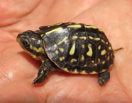 florida box turtle for sale