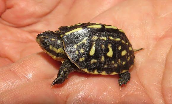 Florida Box Turtle For Sale Online Florida Box Turtles For Sale Baby Hatchling