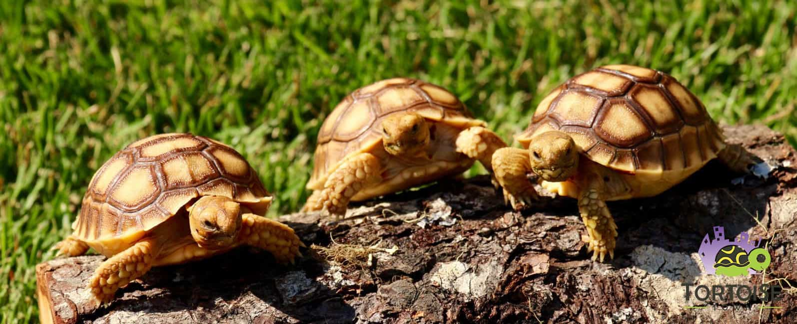 baby Sulcata tortoises for sale online | overnight ...