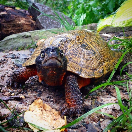 north american wood turtle for sale
