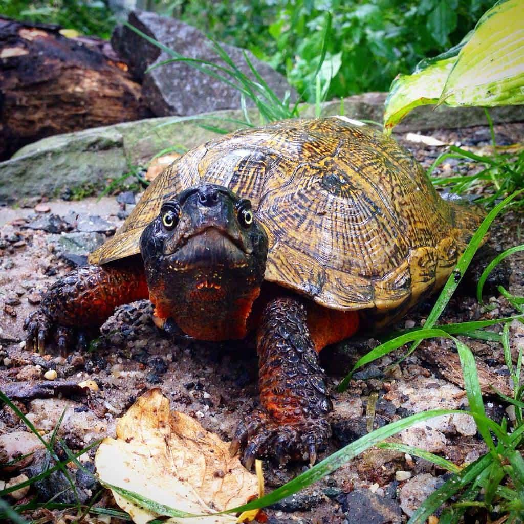 Turtle Price Bd Turtle Price In Bangladesh Buy Turtle Price Bd