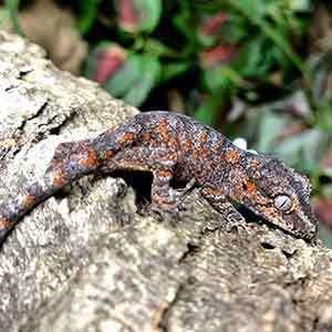 baby gargoyle geckos