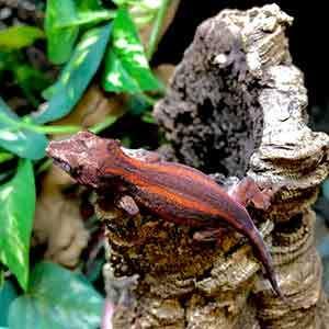 cheap gargoyle geckos for sale
