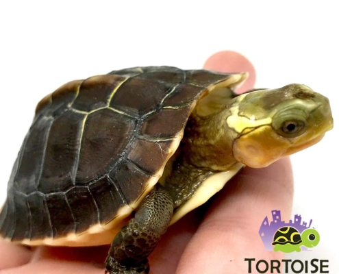 Chinese box turtles