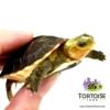 chinese box turtle breeder