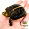 Chinese box turtle sale