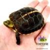 Chinese box turtles