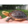 chinese box turtle for sale