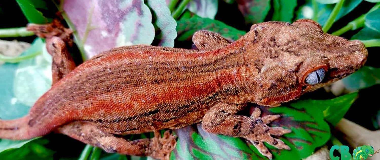 gargoyle geckos for sale