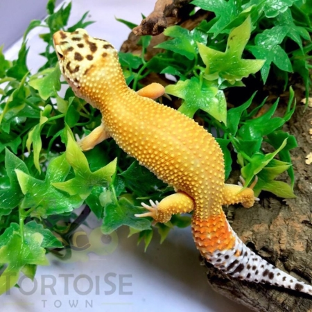 hypo leopard gecko for sale