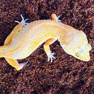 sunglow leopard geckos for sale