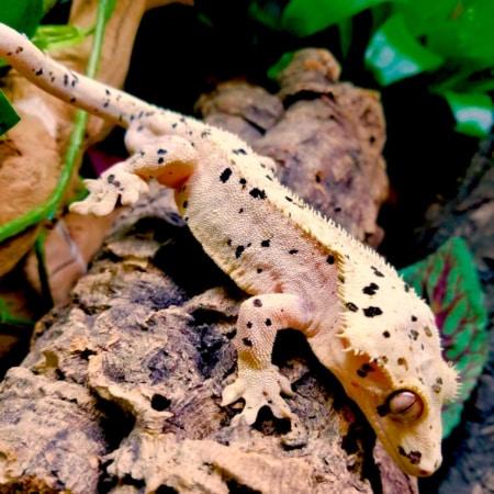 super dalmatian crested gecko