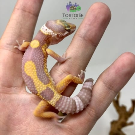 Aptor Leopard Gecko