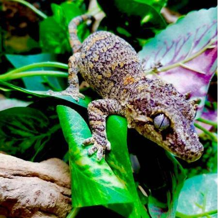 orange blotched gargoyle gecko
