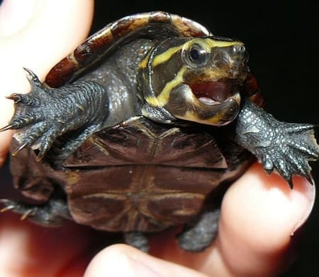 3 striped mud turtle for sale