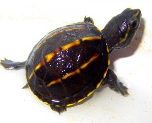 3 striped mud turtles for sale