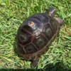 Aldabra giant tortoise for sale