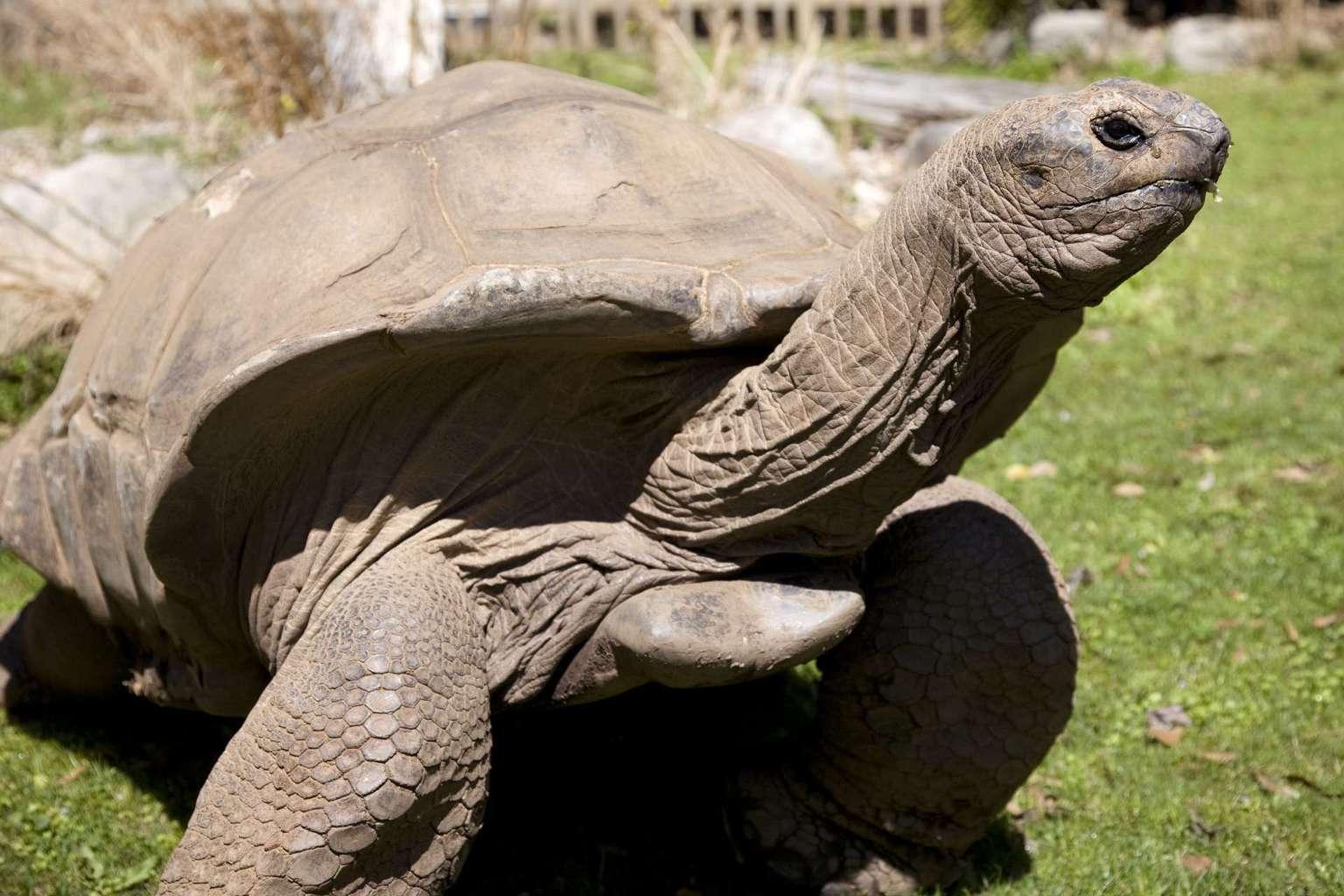 Super Snake 2017 >> aldabra tortoise for sale | baby aldabra tortoises for sale online aldabra breeder