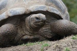 aldabra tortoise breeder
