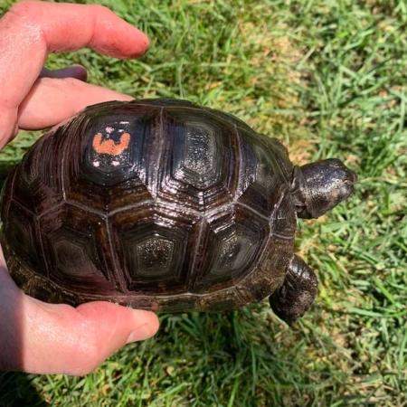 baby Aldabra tortoise